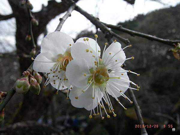 美麗的梅花