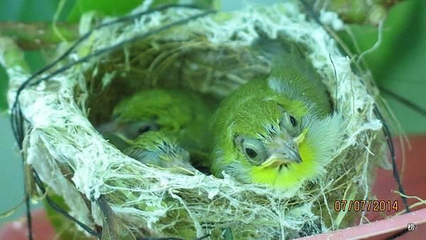 拈花惹草居家篇~綠繡眼的成長紀錄