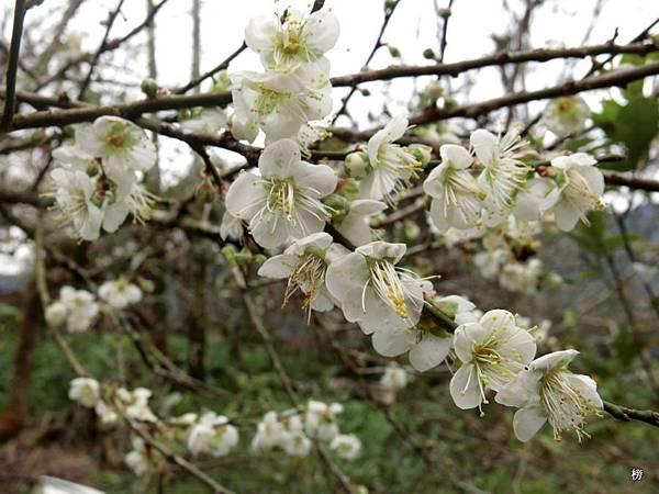 迎新春~梅滿人生幸福樂逍遙