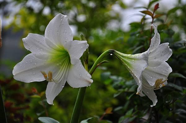 白色花園 (4).JPG