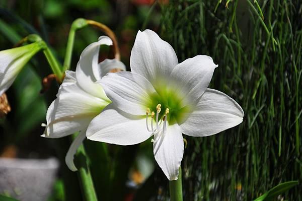 白色花園 (9).JPG