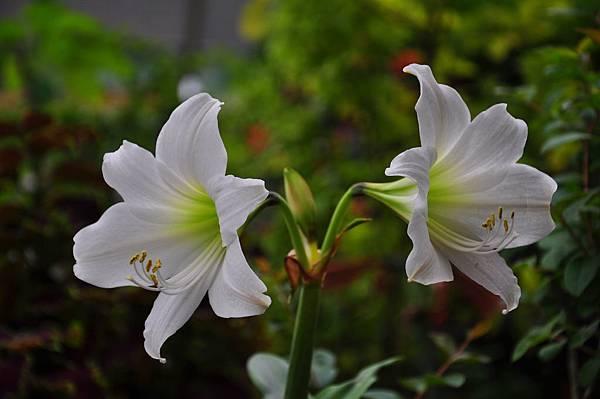 白色花園 (11).JPG