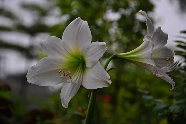 白色花園 (13).JPG