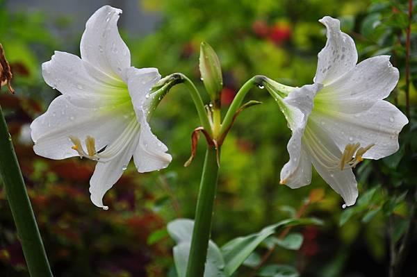 白色花園 (14).JPG