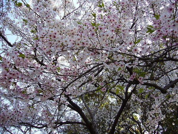 茂密的櫻花