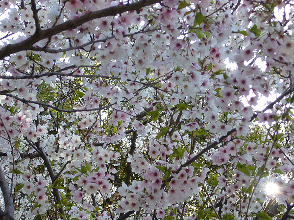 美麗的櫻花