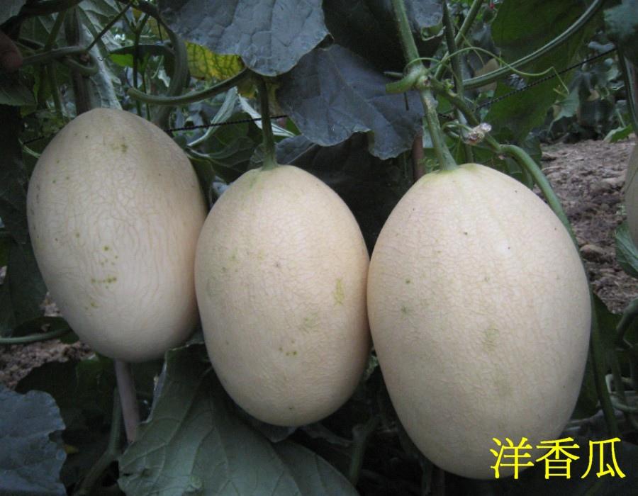 22洋香瓜2