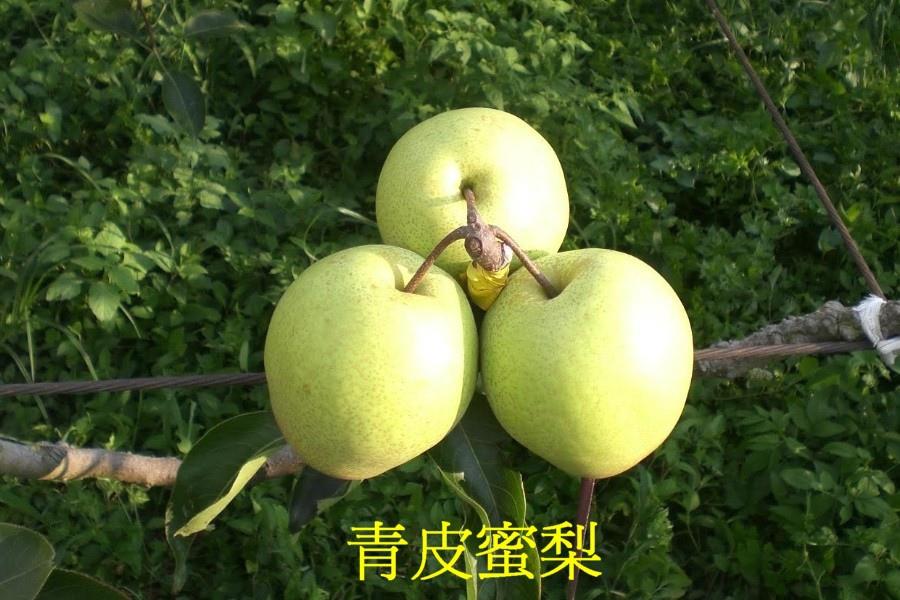 11青皮蜜梨