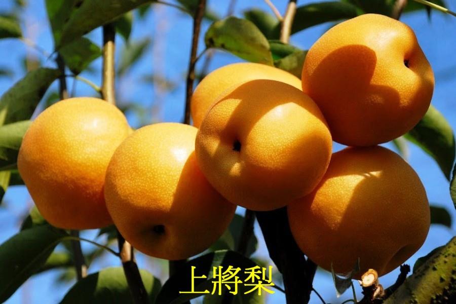 07上將梨