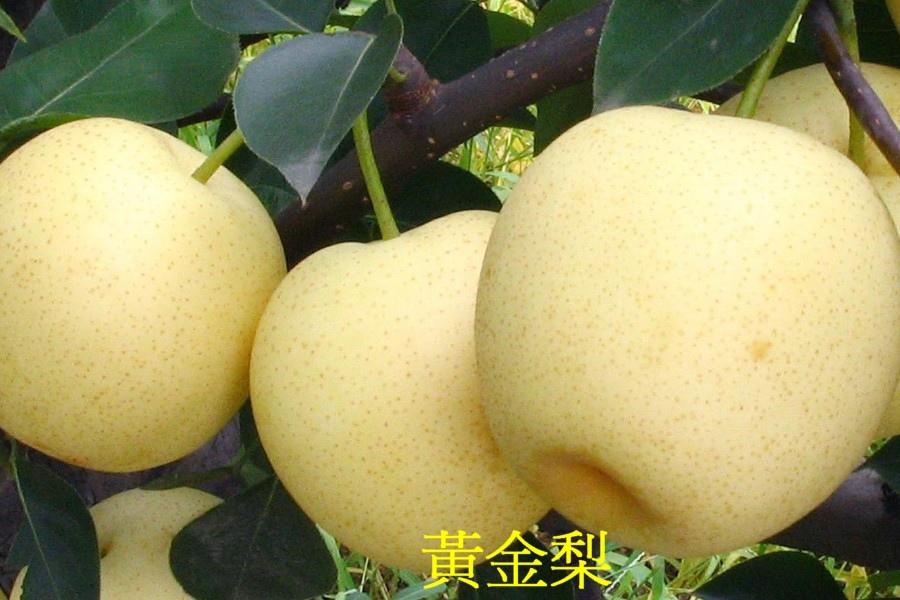 10黃金梨2