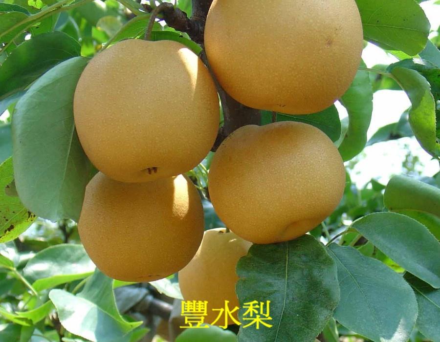 06豐水梨2