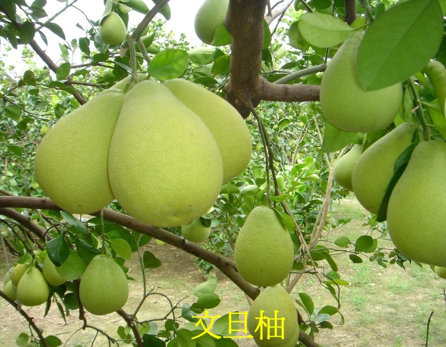 14 文旦柚