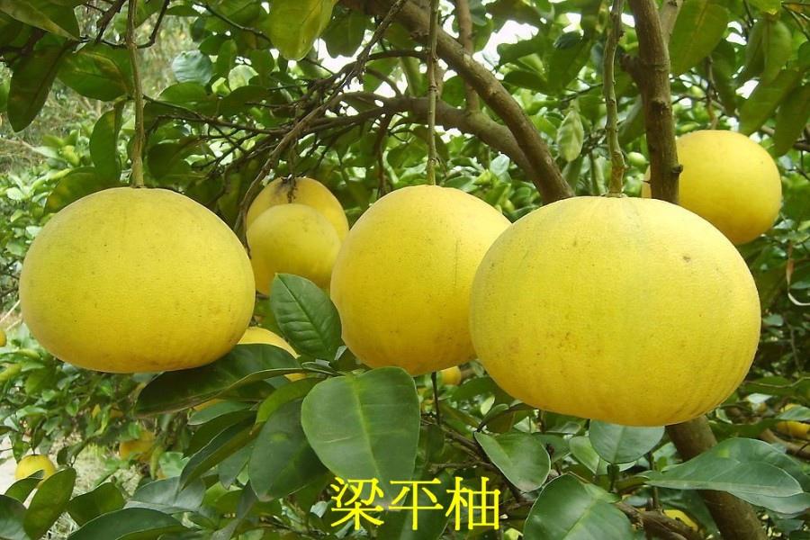 13 梁平柚