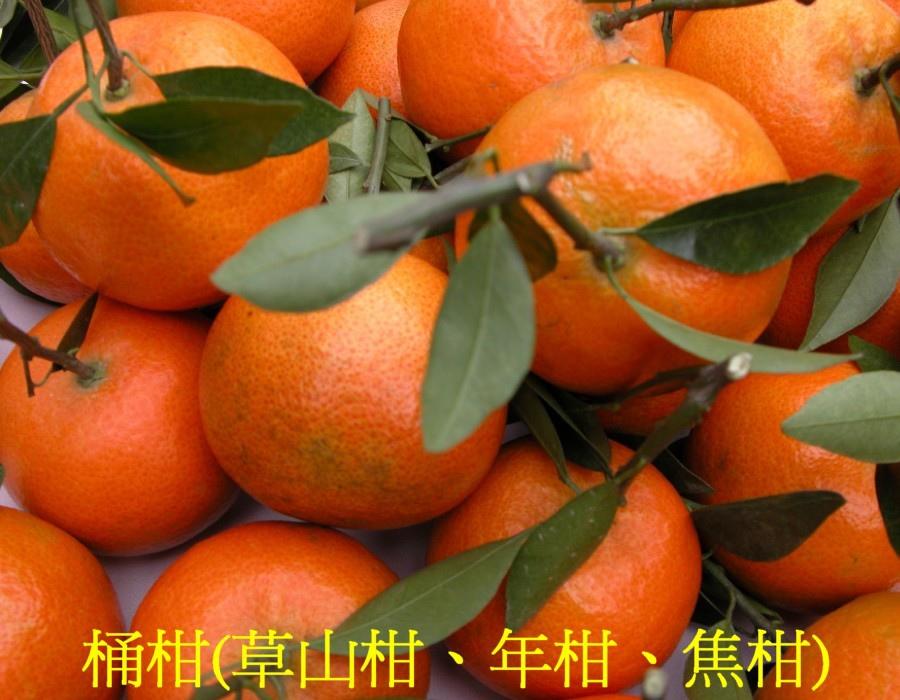 02 桶柑(草山柑、年柑、焦柑)