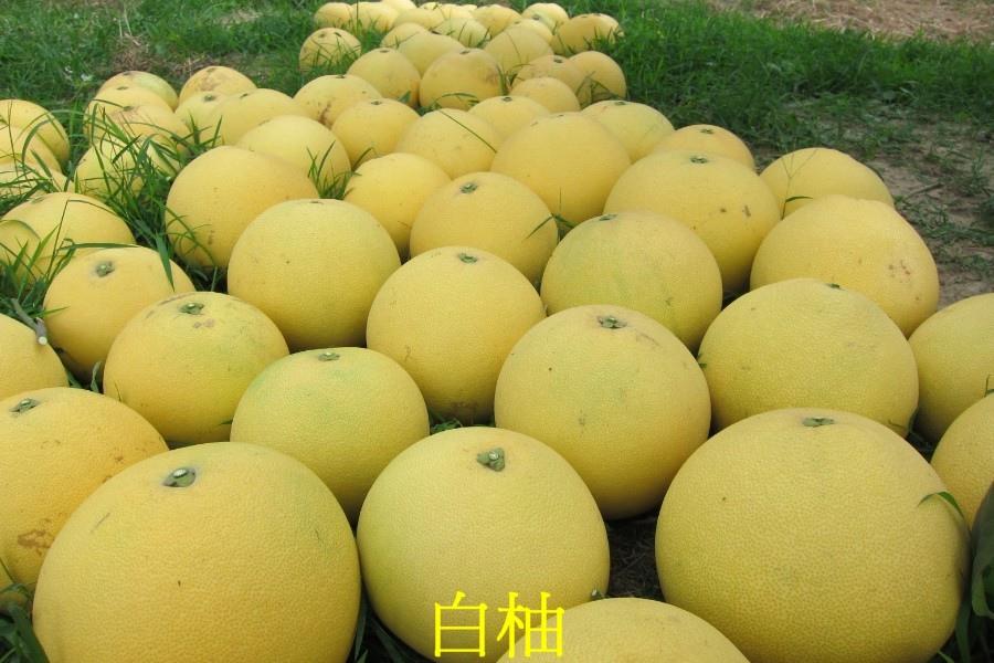 11 白柚
