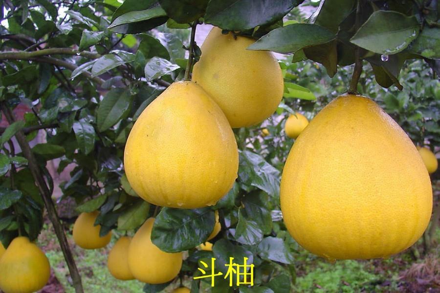 12 斗柚