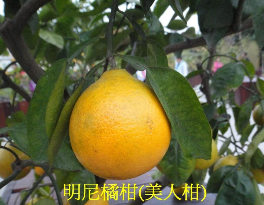 15 明尼橘柑(美人柑)