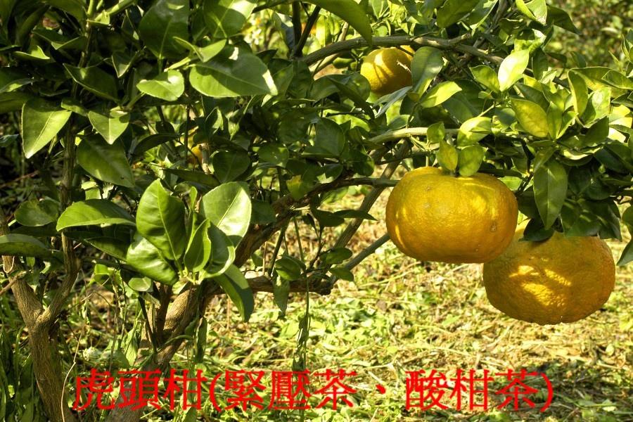 07 虎頭柑(緊壓茶、酸柑茶)