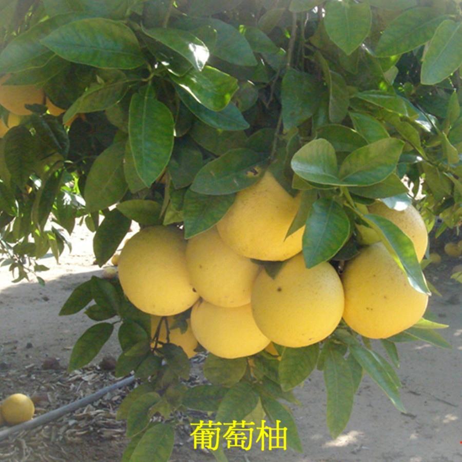 08 葡萄柚
