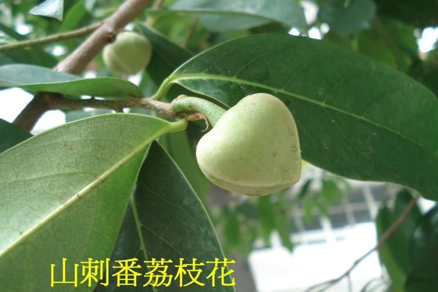 07山刺番荔枝花