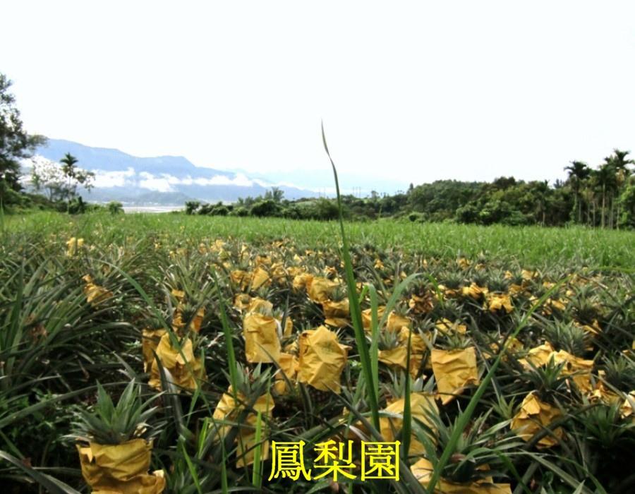 01鳳梨園c
