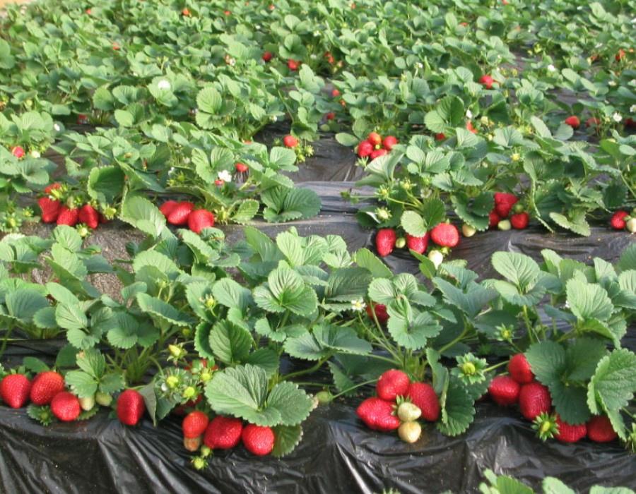 01草莓園d