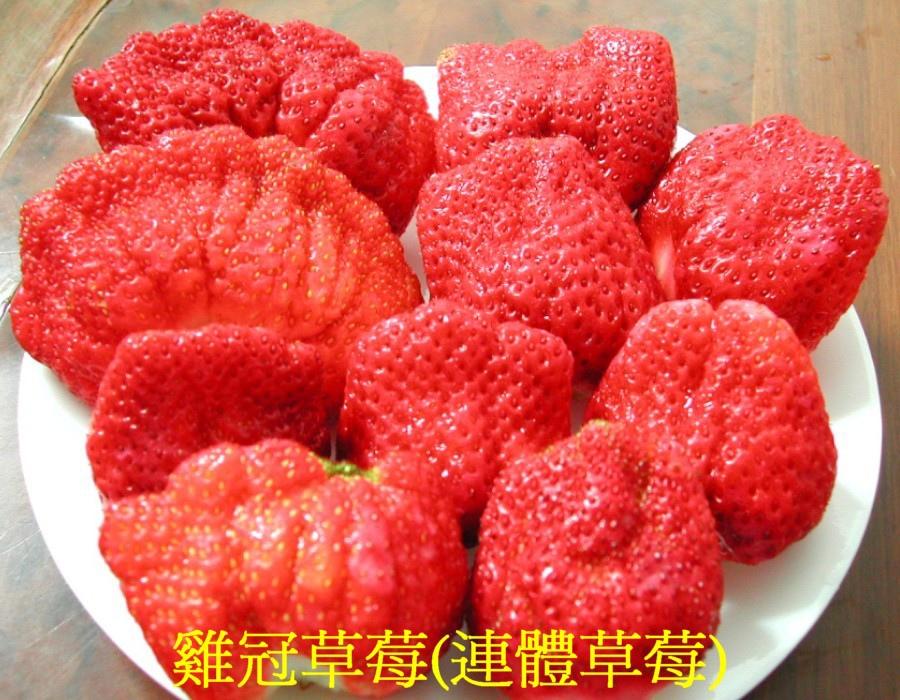 03 雞冠草莓(連體草莓)