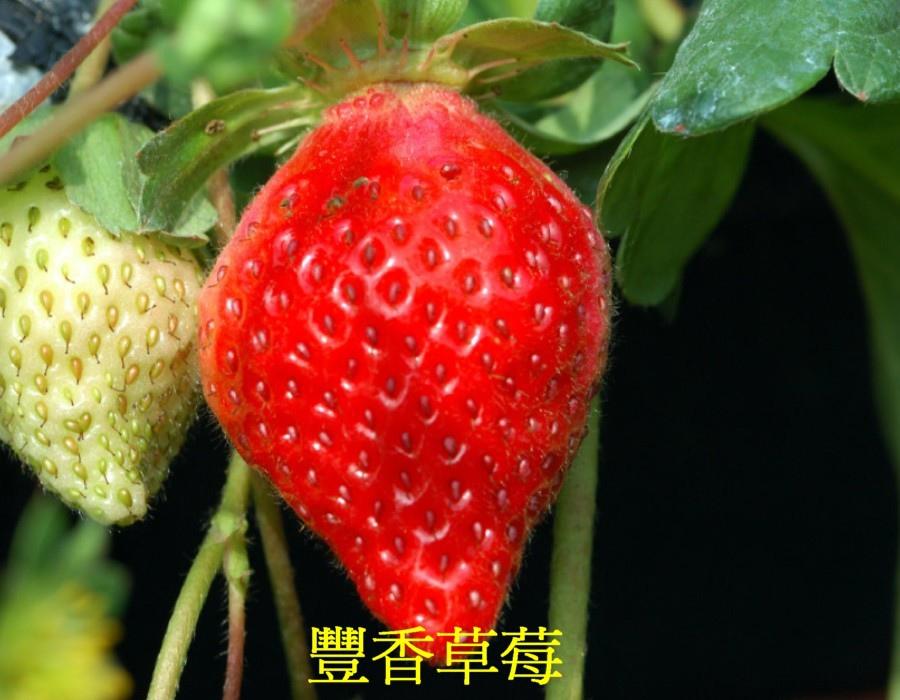 02 草莓b
