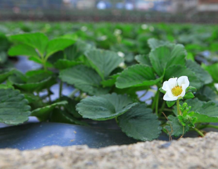 01草莓園b