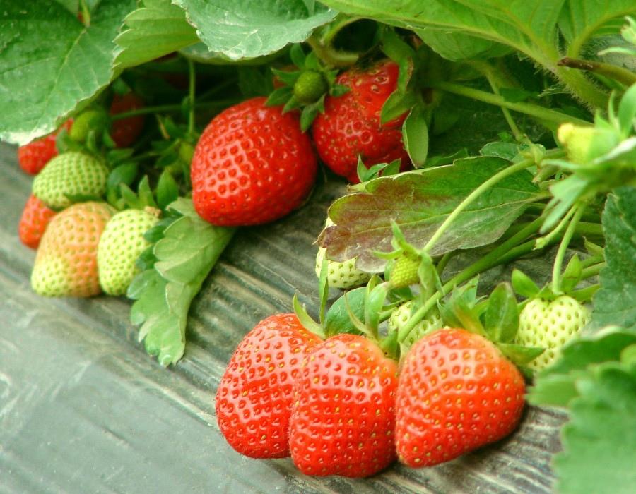 02 草莓