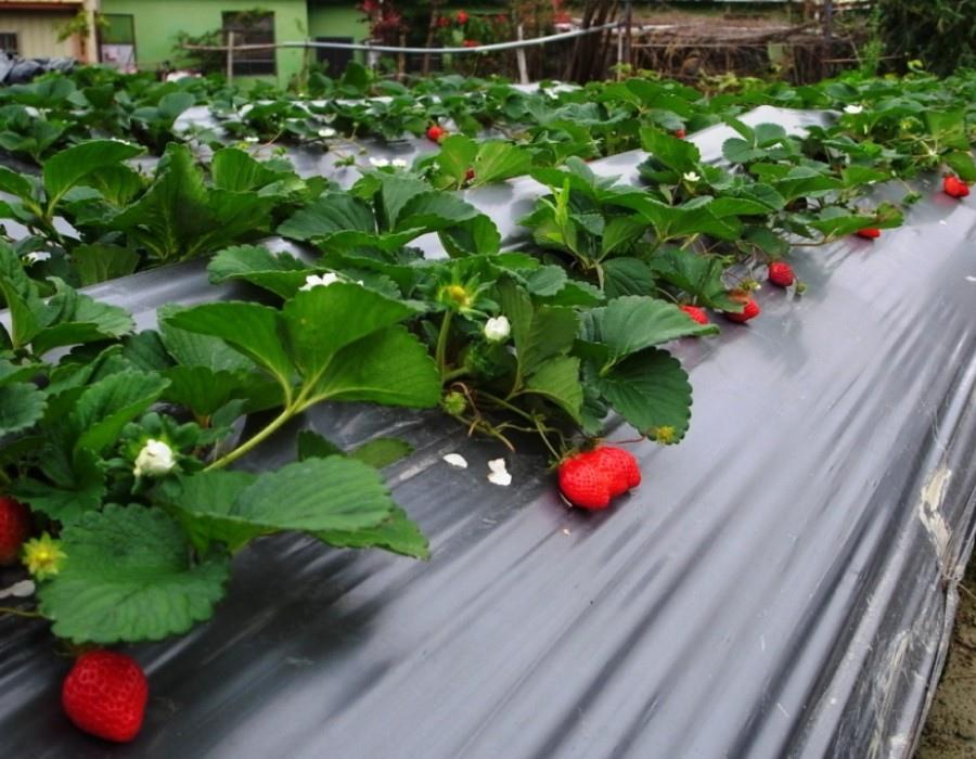 01草莓園e