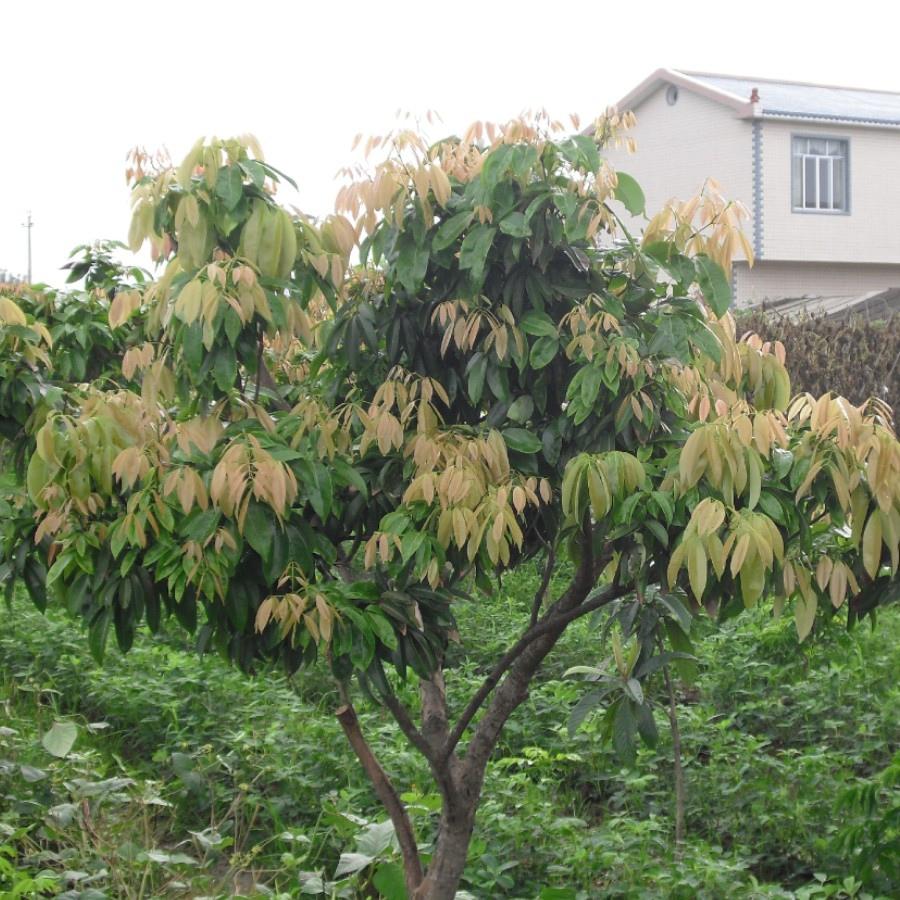 01 荔枝樹