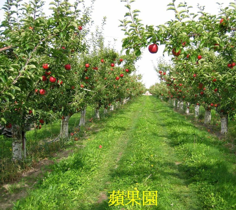 02 蘋果樹
