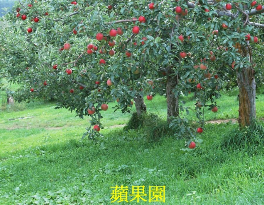01 蘋果樹