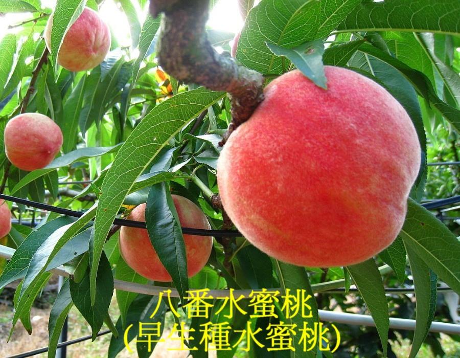 08 八番水蜜桃(早生種水蜜桃)