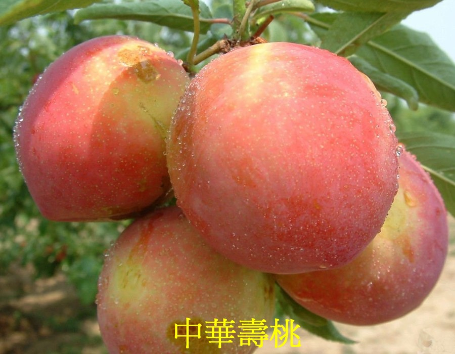05 中華壽桃