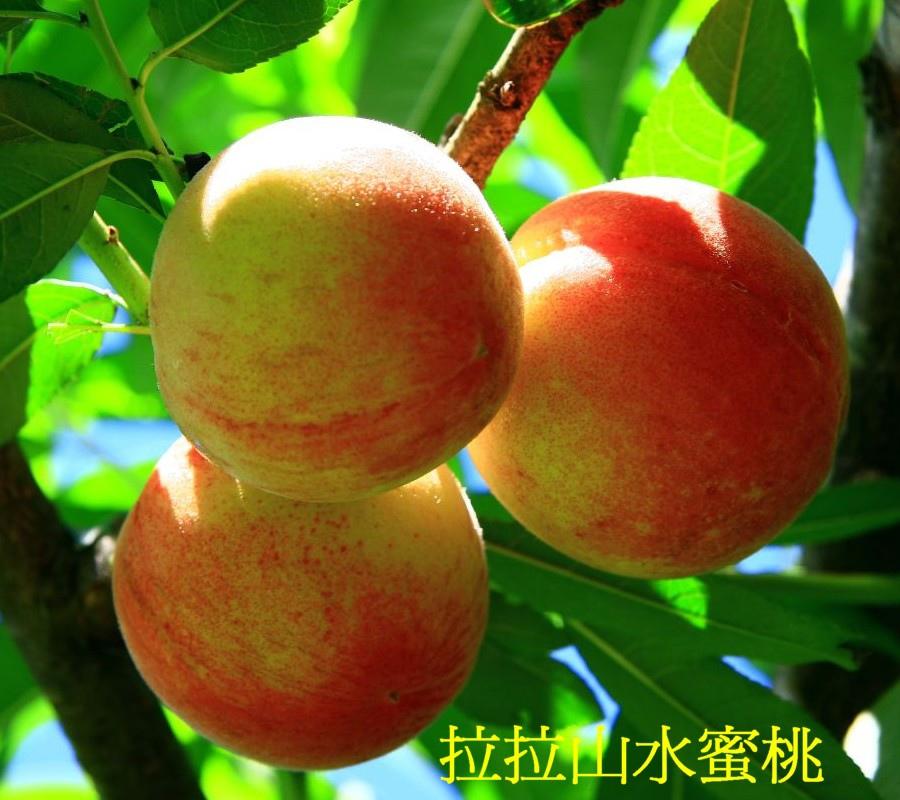 01 拉拉山水蜜桃