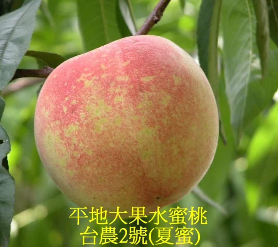 10 平地大果水蜜桃─台農2號(夏蜜)