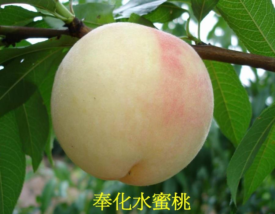 04 奉化水蜜桃