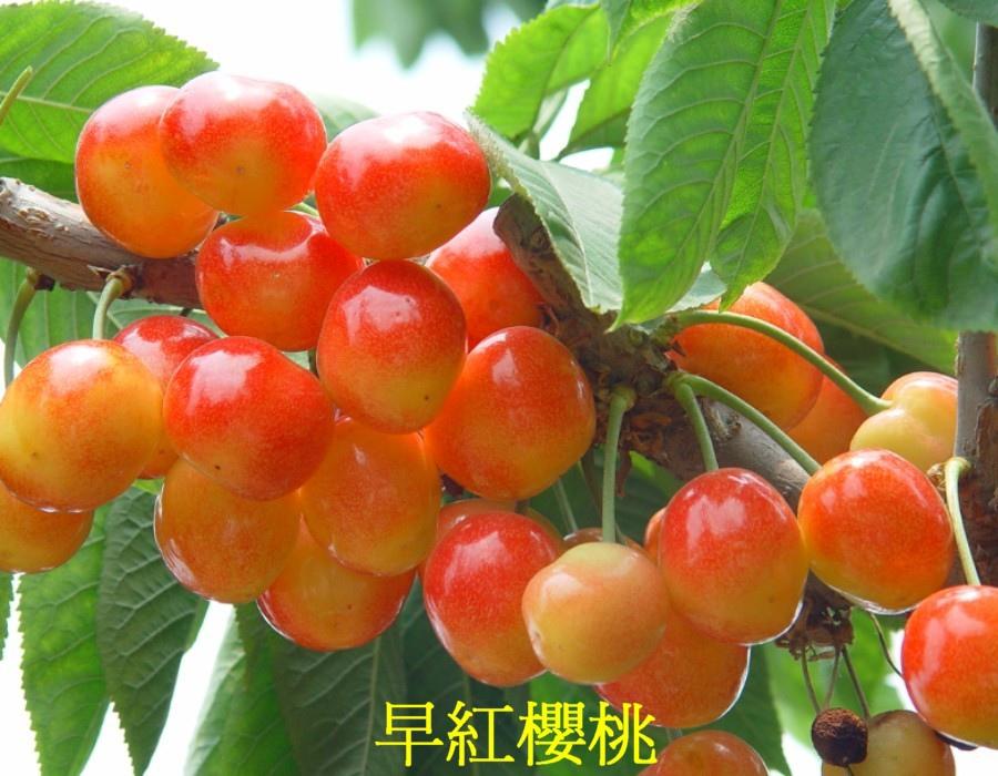 21 早紅櫻桃