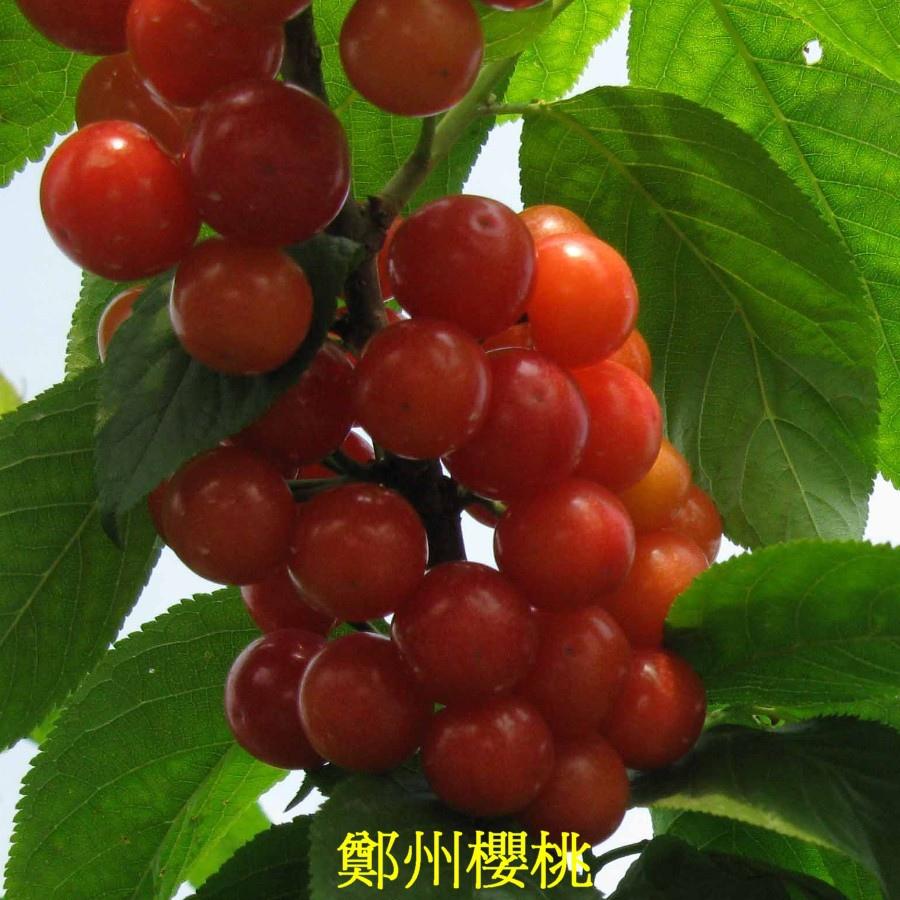 20 鄭州櫻桃