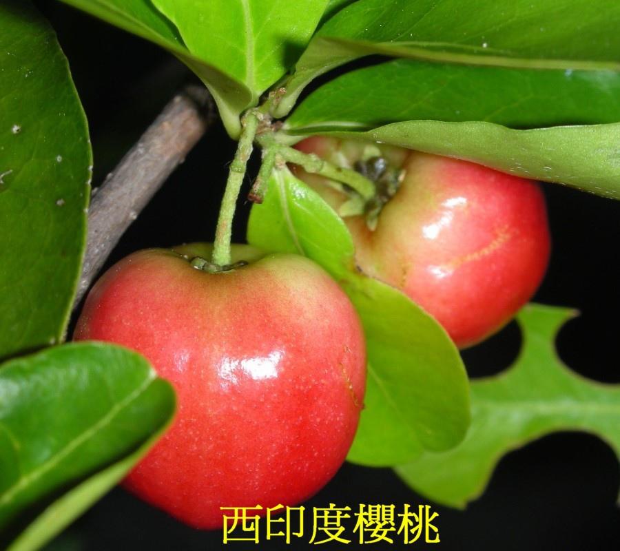 19 西印度櫻桃