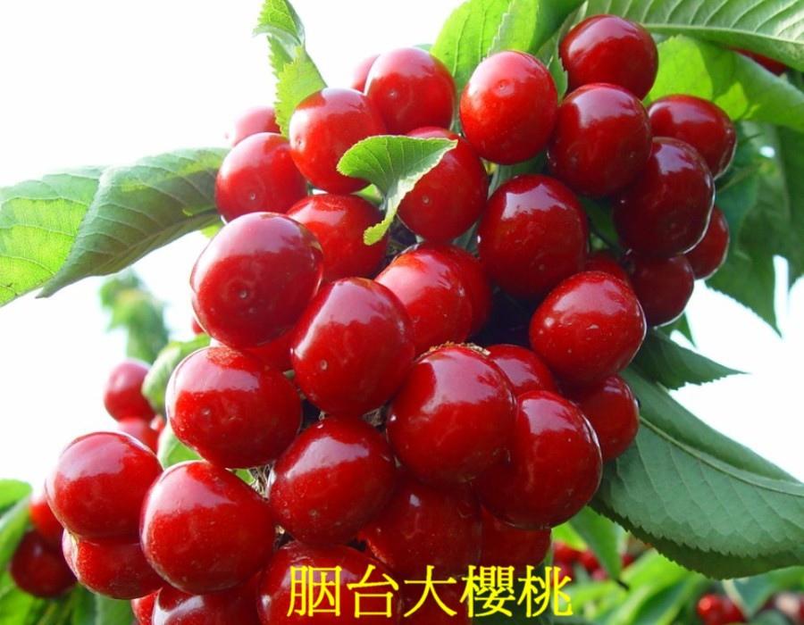 20 胭台大櫻桃