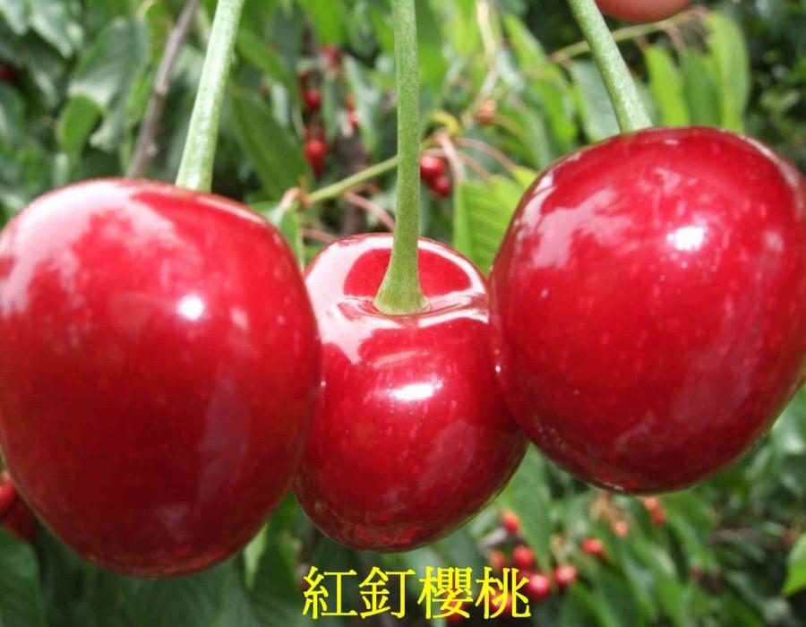 21 紅釘櫻桃
