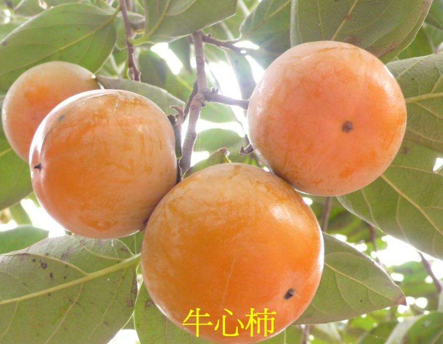 03 牛心柿