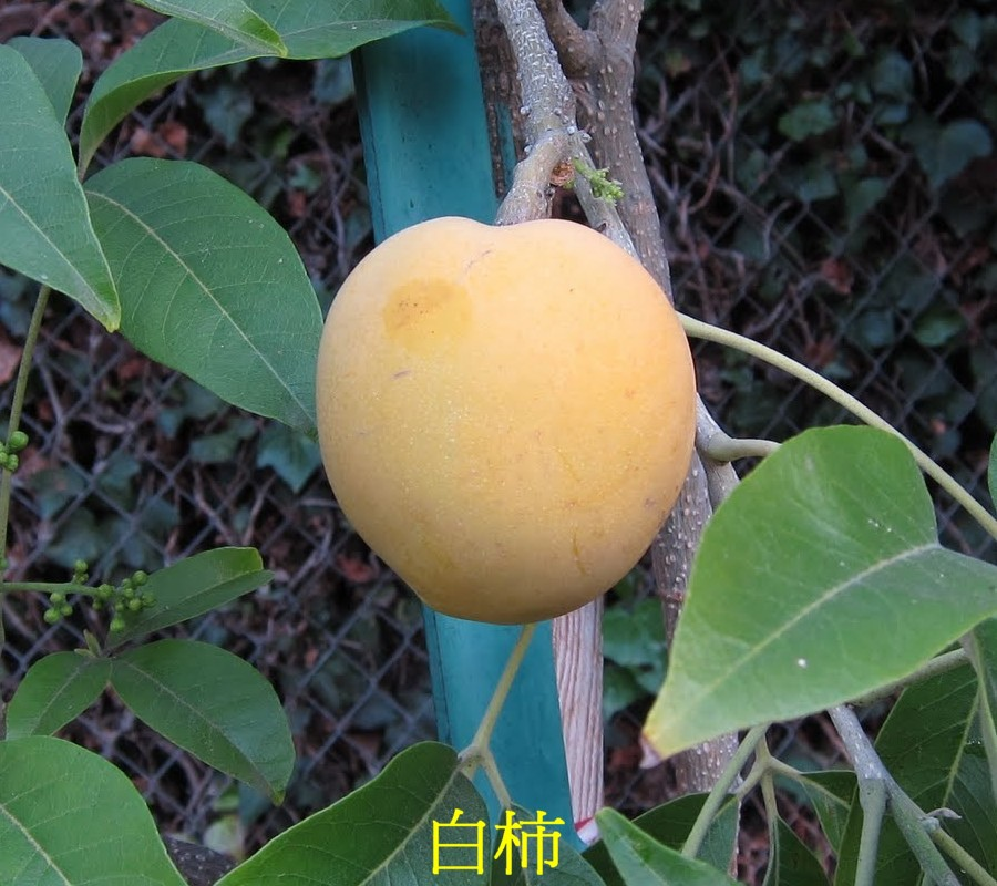 03 白柿