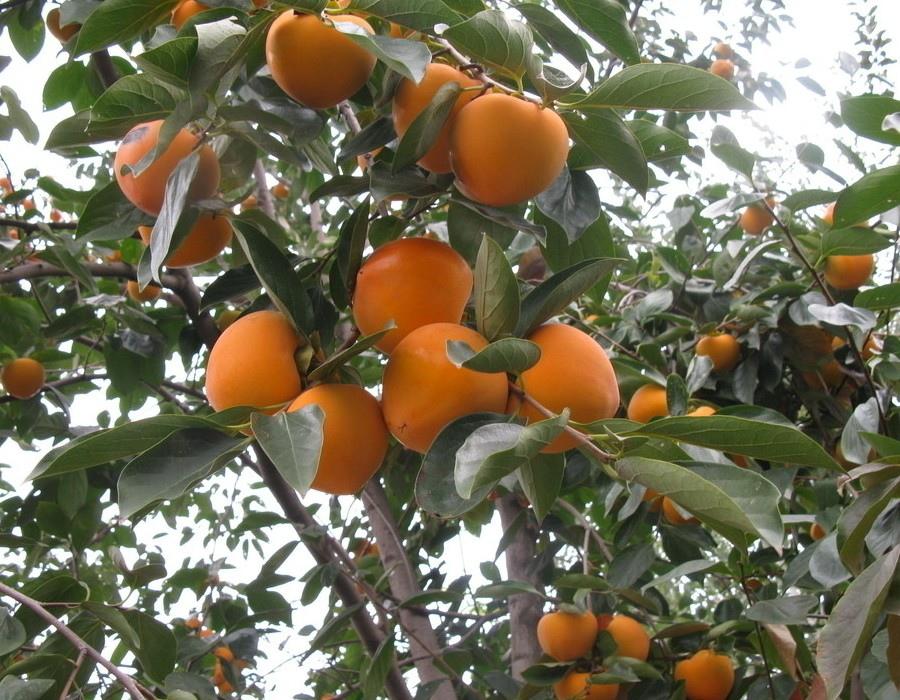 00 柿子樹