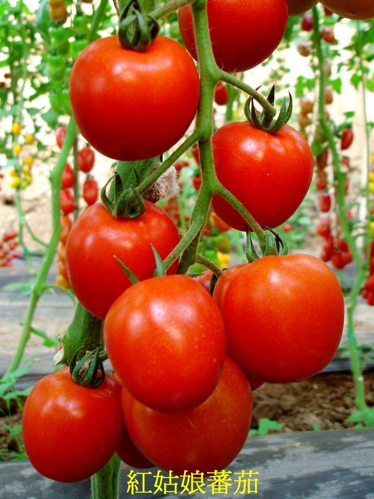 23 紅姑娘蕃茄