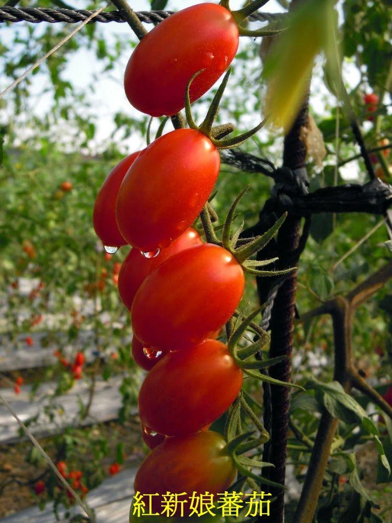 24 紅新娘蕃茄