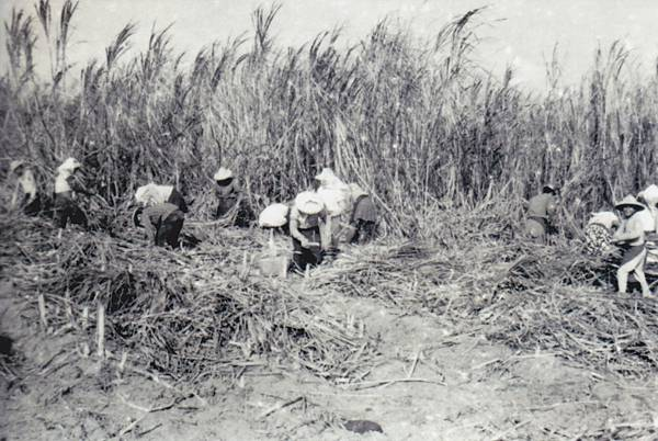 龍巖糖廠-人工採收3.jpg